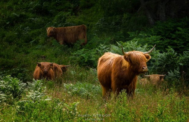 Highland Cattle, Mull